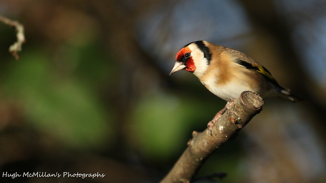 Goldfinch, Erskine,Scotland.