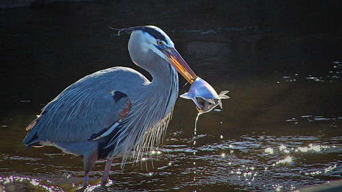 2020.12.25 La Chua Great Blue Heron 2 | by Admiral Elk