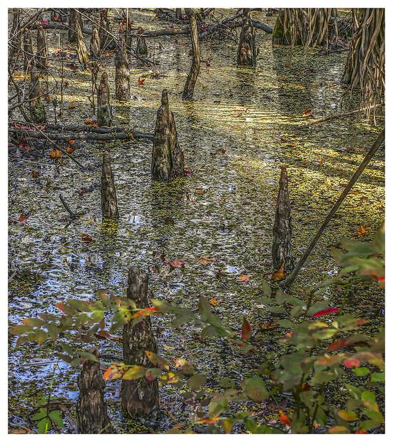 Lake Woodruff #1 2021; Duckweed and Cypress Knees