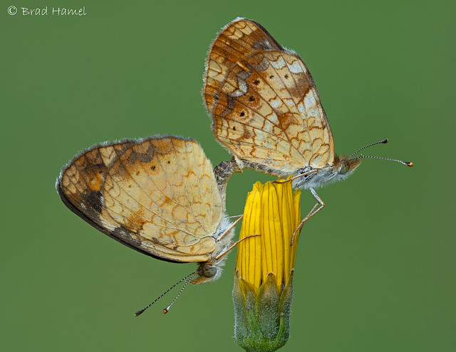 A pair of  Pearl Crescent Butterflies
