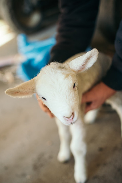 Closeup of white little lamb.