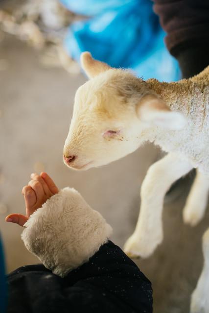 A little girl petting a lamb. Arm near lamb closeup.