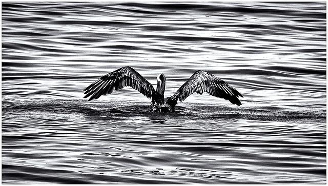 Pelicano (Pelican)