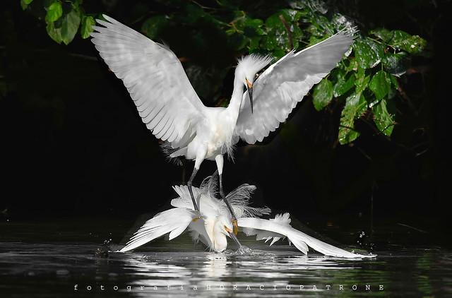 - GARCITAS BLANCAS (Egretta thula - Snowy egret ) peleando por problemas de territorio - toma LAGO DE REGATAS . Buenos Aires .