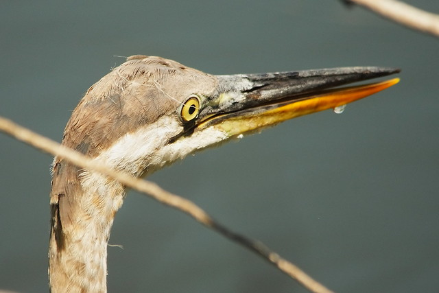 3S5X5372 Young Great Blue Heron