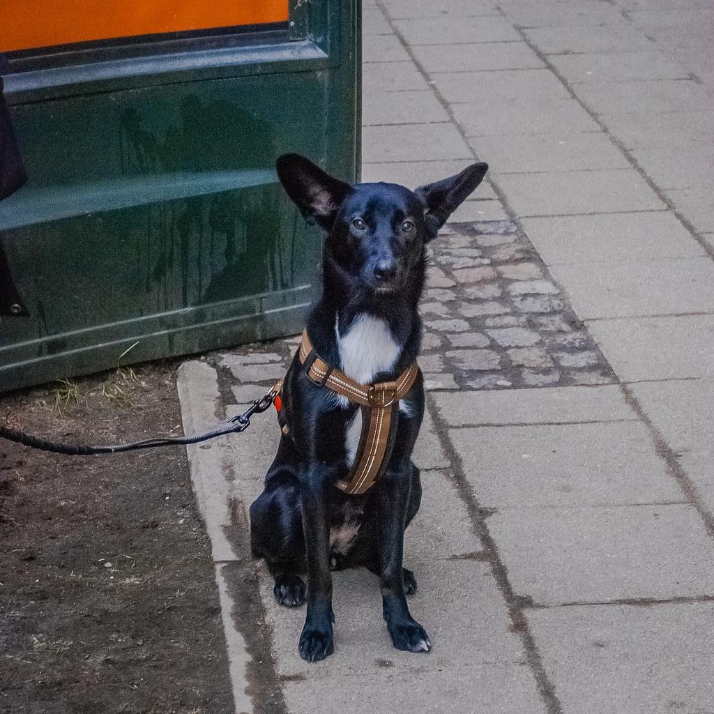 Пёс шикарен! Такие ухи! 😊 😊 😊  DSC_9799