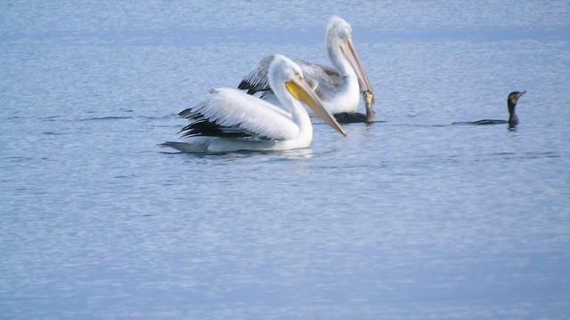 Καυγαδάκια στη λιμνοθάλασσα της Λευκάδας