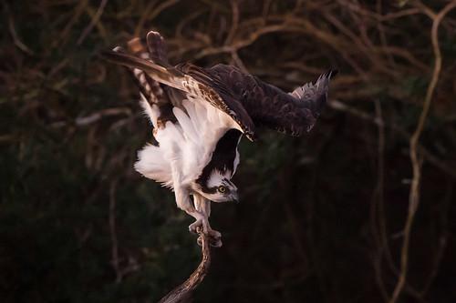 osprey bird roost prelaunch dawn nature wildlife armandbayou pasadena texas kayak gseloff