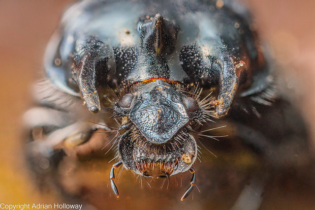 Minotaur Beetle.
