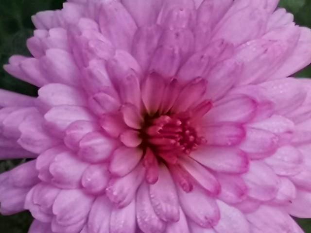Mei-Kyo, chrysanthemum