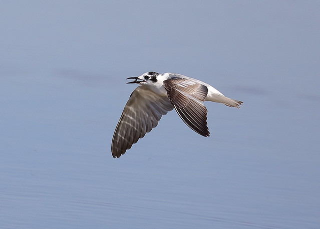 White-winged Black Tern Chlidonias leucopterus