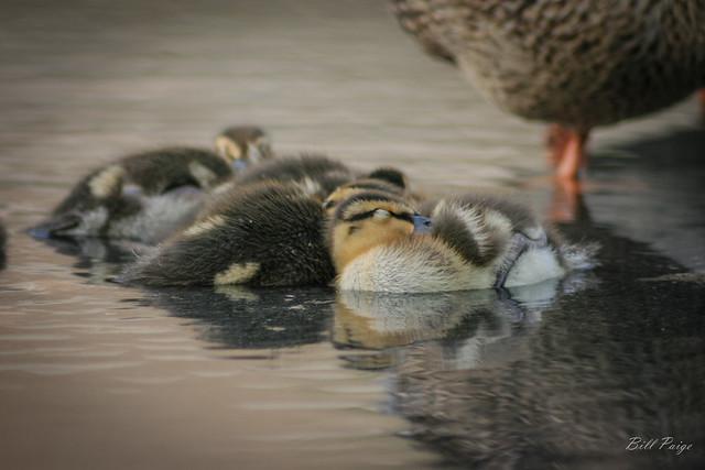 Snuggled Ducklings under Mom's Watch
