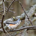 08 JAN 2021 - TUFTED TITMOUSE (2 of 1)