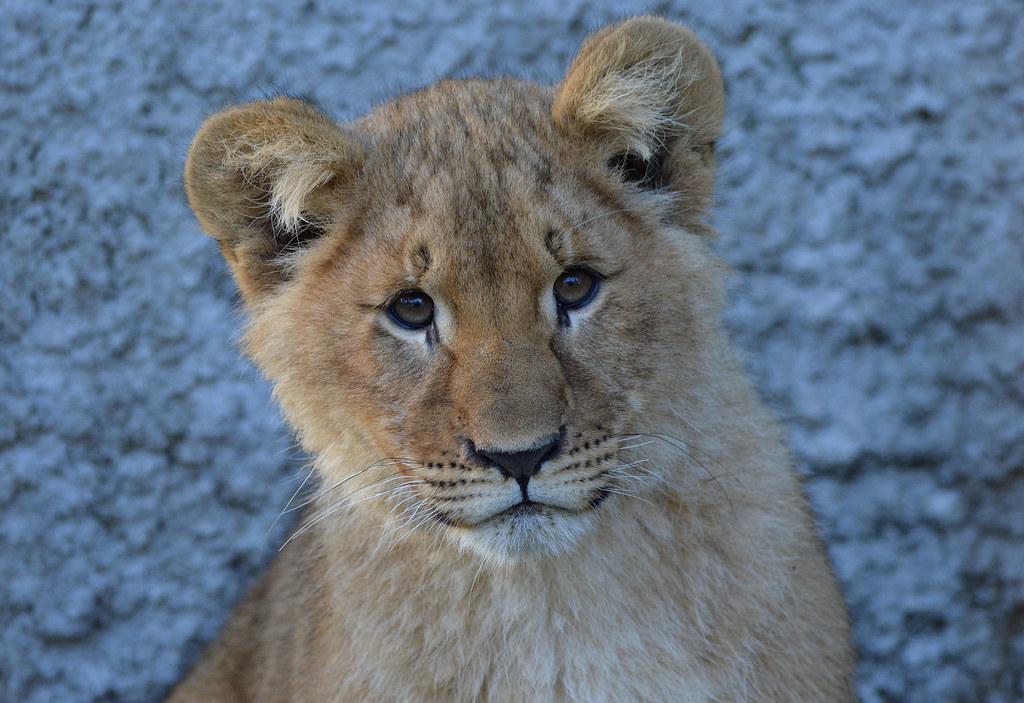 African lion cub - Olmense Zoo