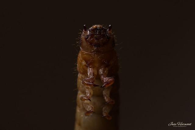 Morio Worm
