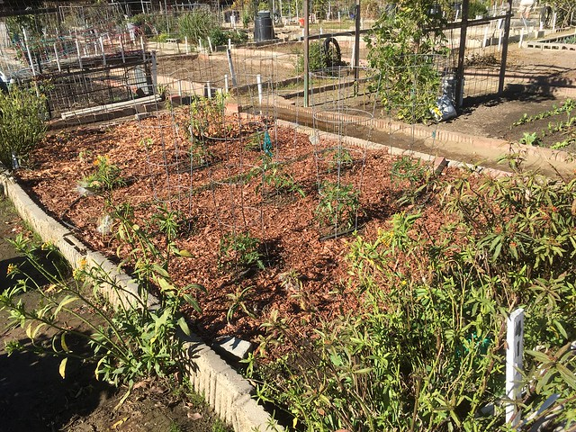 Plot 41 Tomatoes and peppers December 19 2020