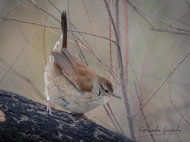 Ruiseñor bastardo - Cetti's warbler