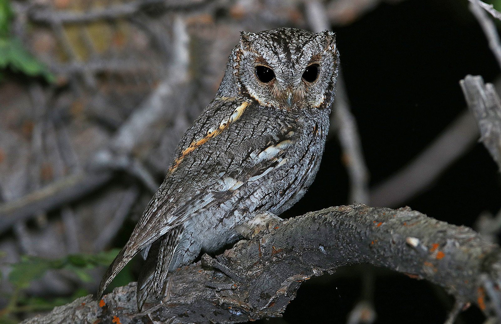 Flammulated Owl Tours
