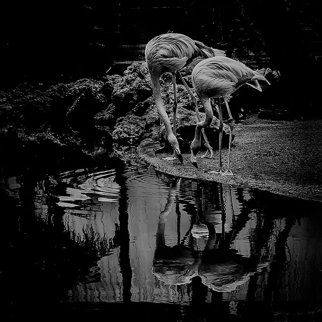 Flamingoes in BW
