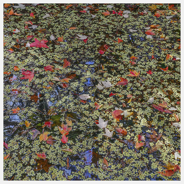 Lake Woodruff #2 2021; Duckweed & Red Leaves
