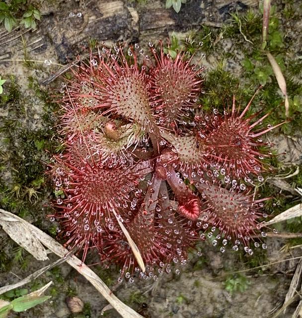 Drosera rotundifolia, a carnivorous plant