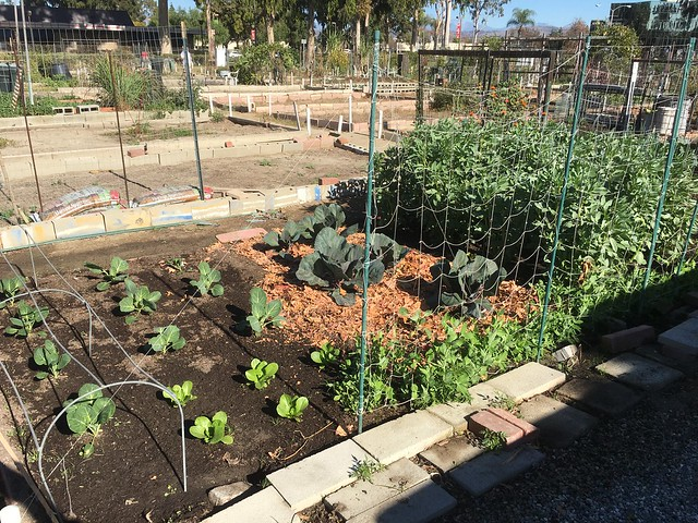 Plot 60 Red and green Cabbage Brussel sprouts romaine Dec 19 2020