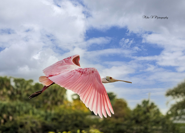Roseate spoonbill [on Explore 01.09.21]