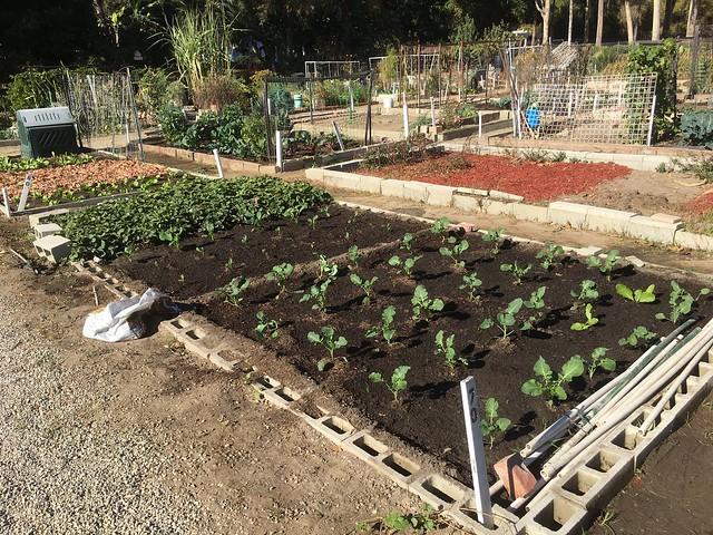 Plot 70 broccoli cauliflower brussel sprouts Dec 19 2020