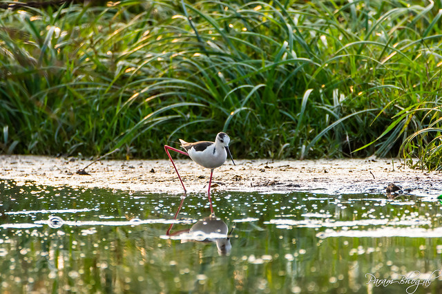 Foraging Stilt - I (PB2_3364)