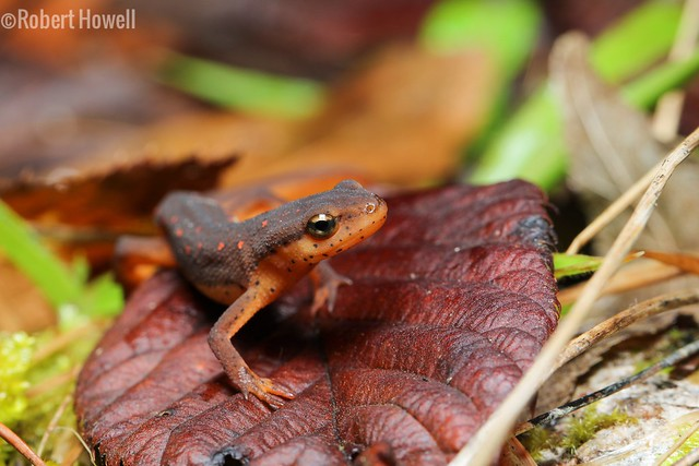 Central Newt (Notophthalmus viridescens louisianensis)