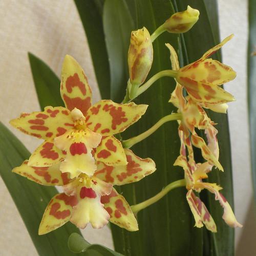 Flor de una orquídea abriéndose. Vídeo a cámara rápida