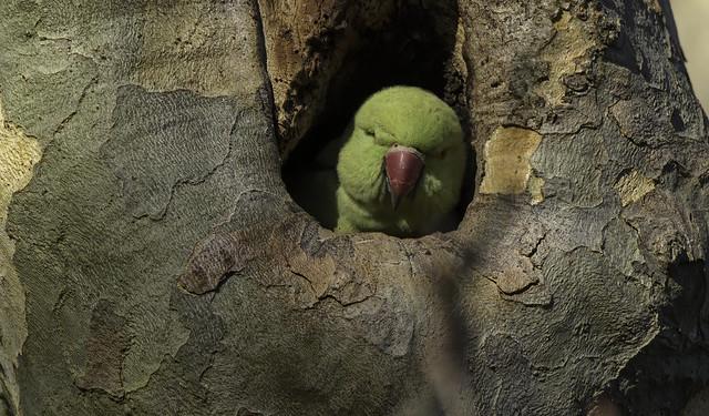 a Rose Ringed Parakeet (F)