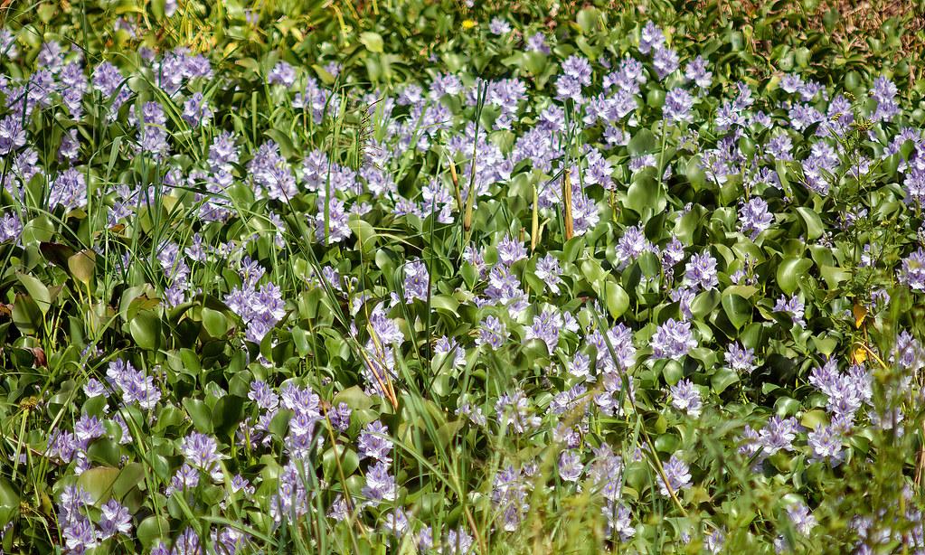 Eichhornia crassipes - 10_10_2005_W_of_Niamey_DSC_4263_DxO