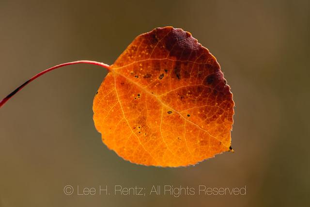 Autumn Aspens in Great Basin National Park