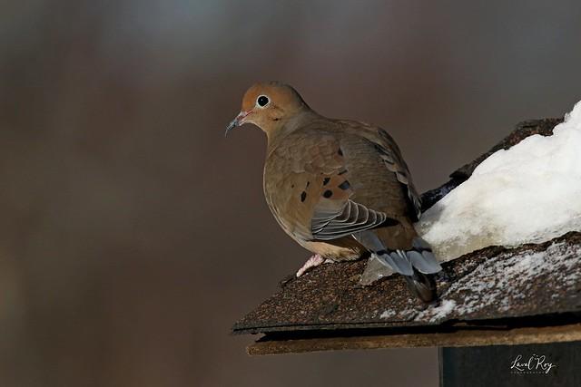 1.04650 Tourterelle triste / Zenaida macroura carolinensis / Mourning Dove