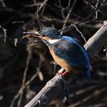 カワセミ 翡翠 Kingfisher