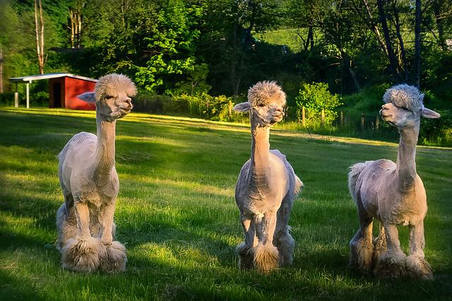 ***Rock Star Llamas (In Explore)