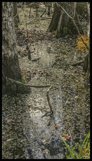 Lake Woodruff #3 2021; Bald Cypress & Duckweed