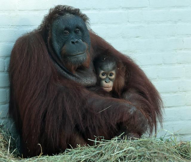 borneo orangutan Tjintha and Minggu Ouwehand 9K2A3088