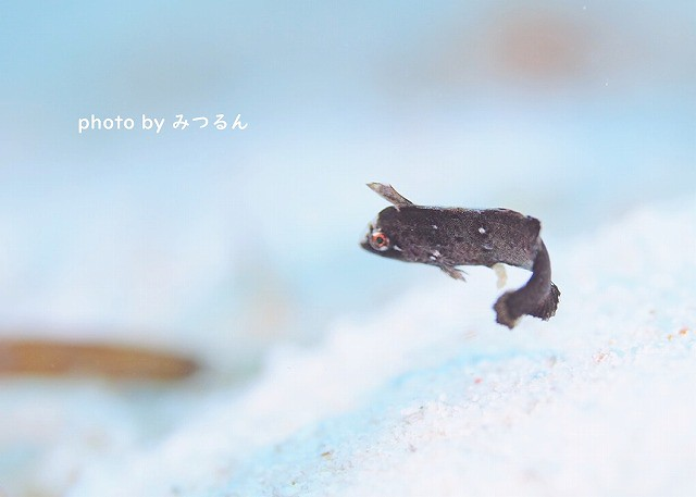 白に黒がとってもキレイ♡ホシテンス幼魚