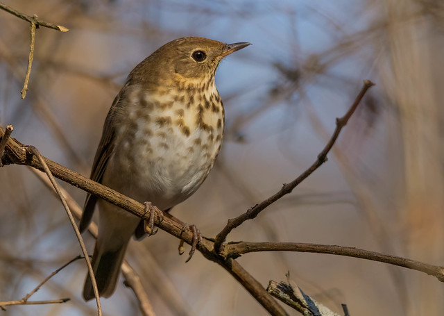 There's A Kind Of Hush when I saw this Thrush! (Explored 1/10/2021)