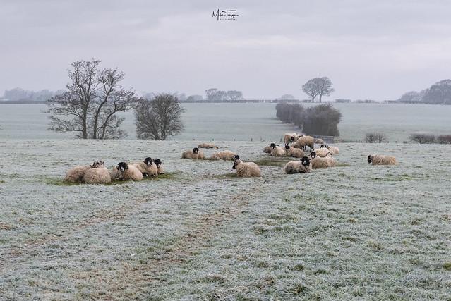 Frosty flock!