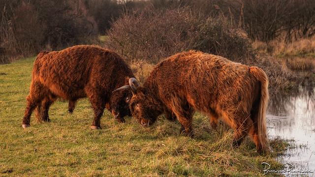 Bulls fighting on the Slikken van Flakkee
