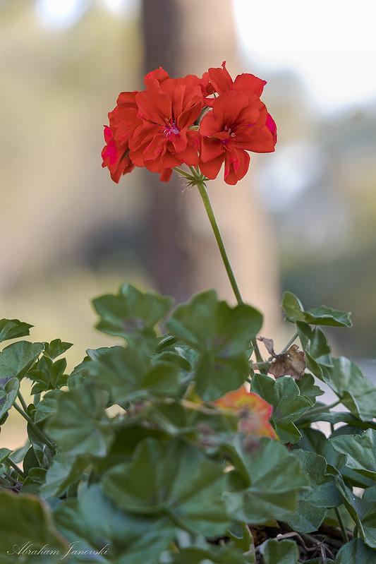 Geranio Rojo