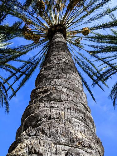 trees palm datepalms palmtree dates california january smileonsaturday onepointperspective ranchosantamargarita