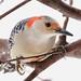 "248A1517 ""red headed"" red bellied woodpecker"