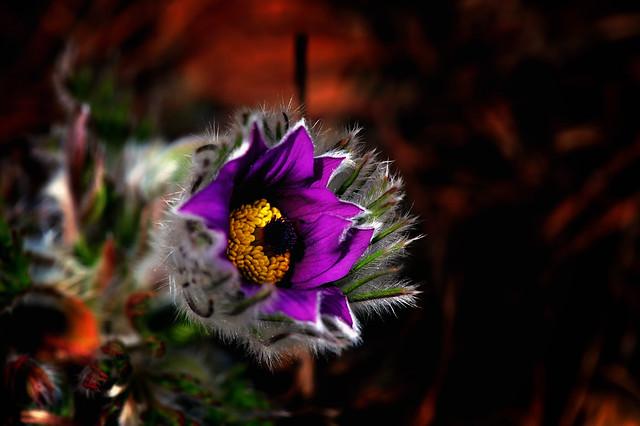 PASQUE FLOWER - pulsatilla vulgaris