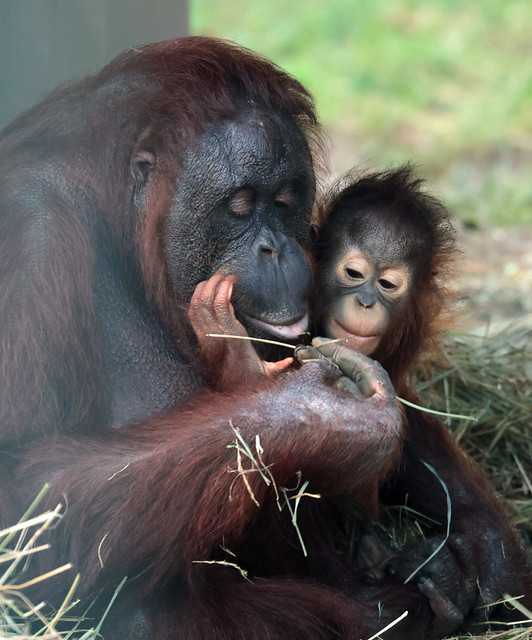 borneo orangutan Tjintha and Minggu Ouwehand 9K2A2881