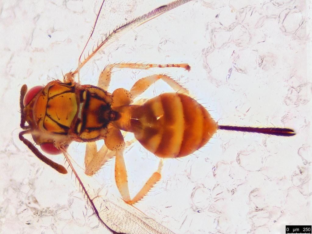 2a - Megastigmidae sp.
