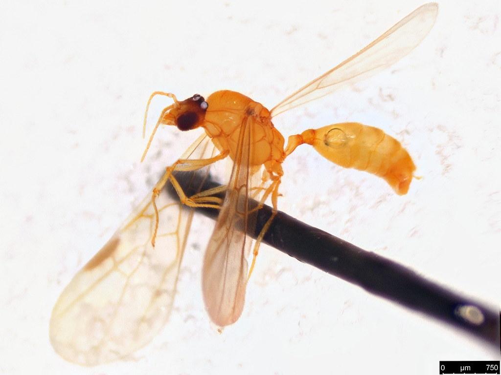 18b - Formicidae sp.